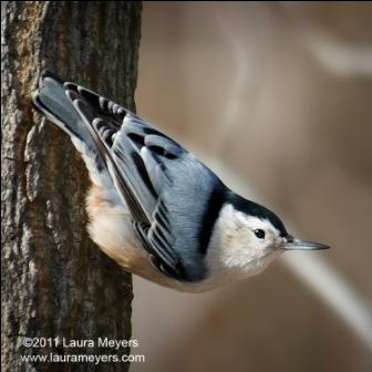 White-Breasted Nuthatch  © Laura Meyers