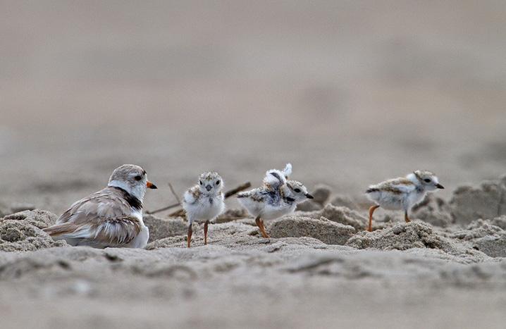 Piping Plover © Francois Portmann