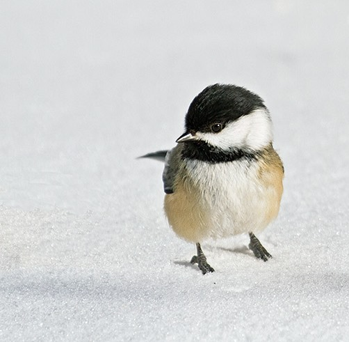 Black-Capped Chickadee © Laura Meyers