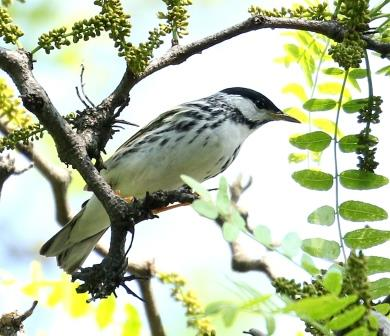 Blackpoll Warbler © CheeWok Yong