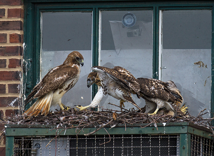 Nesting Red-tailed Hawks © Francois Portmann