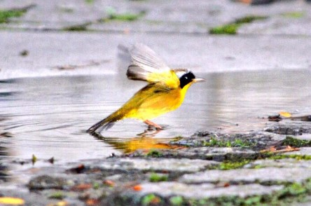 Common Yellowthroat at Bryant Park © Tweet by @avibavi
