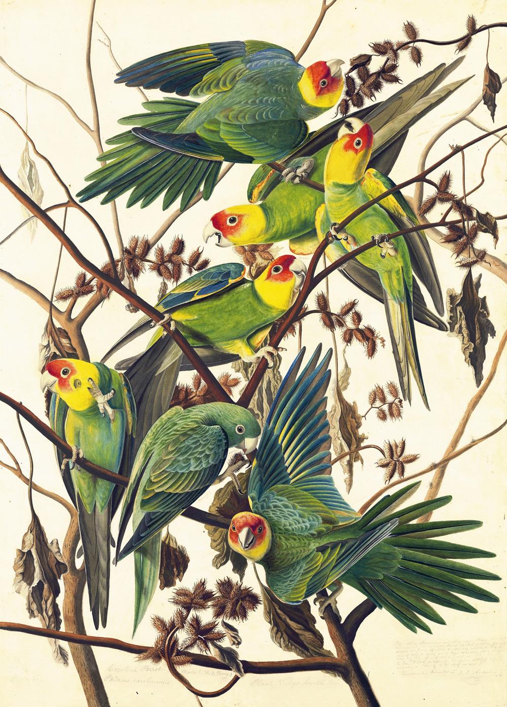 Carolina Parakeets print by John James Audubon
