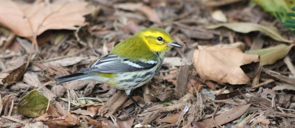 Black-throated Green Warbler Seen in September during Fall Migration