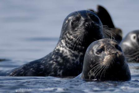 Harbor Seals © Chuck Abbe (Creative Commons Attribution License)
