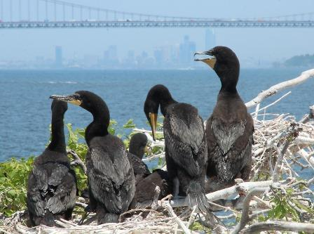 Double-Crested Cormorant Colony @ Don Riepe