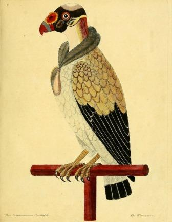 Painted Vulture, Early Depiction