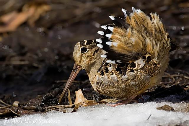 American Woodcock © Lloyd Spitalnik