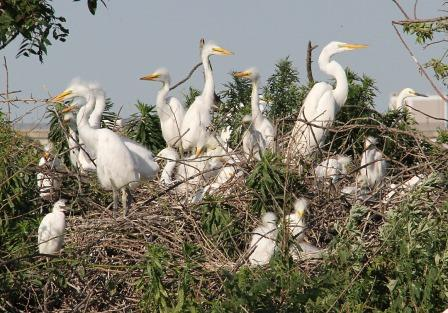 Great and Snow Egret Colony © NYC Audubon