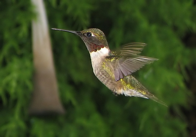 """Ruby-throated Hummingbird"" © The Fixer*"