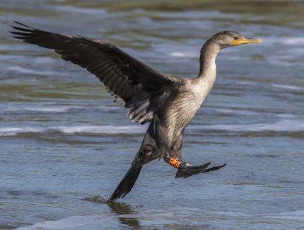 Banded Double-Crested Cormorant © T.M. Stuart (tmstuart@comcast.net)