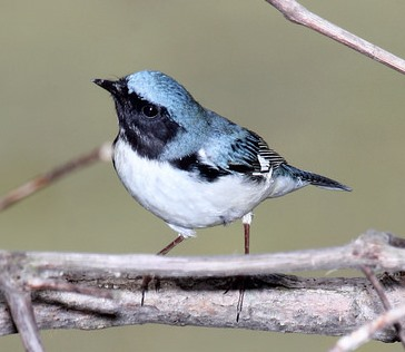 Black-Throated Blue Warbler © Dominic Sherony (Creative Commons Attribution License)