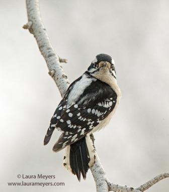Downy Woodpecker © Laura Meyers