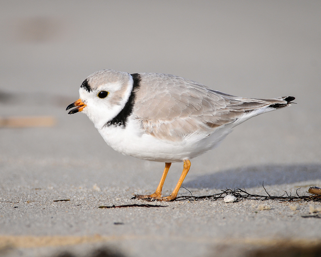 Piping Plover © Don Freiday/USFWS