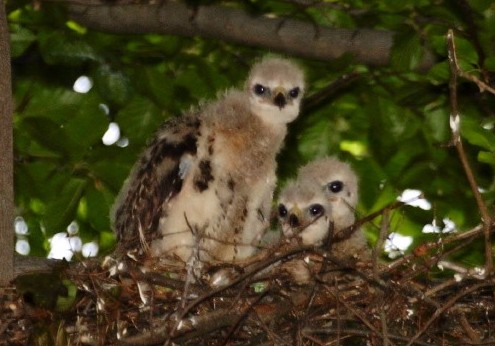Fledgling Red-tailed Hawks © Steve Nanz