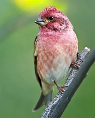 Purple Finch © Lloyd Spitalnik