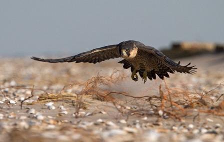 Peregrine Falcon © François Portmann