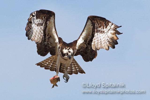 Osprey © Lloyd Spitalnik