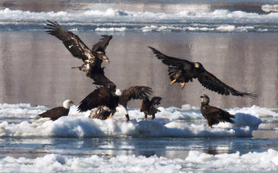 Bald Eagles © Bruce Yolton