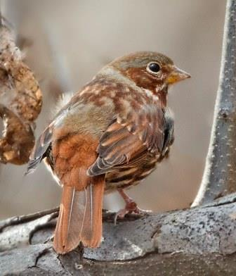 Fox Sparrow © Laura Meyers