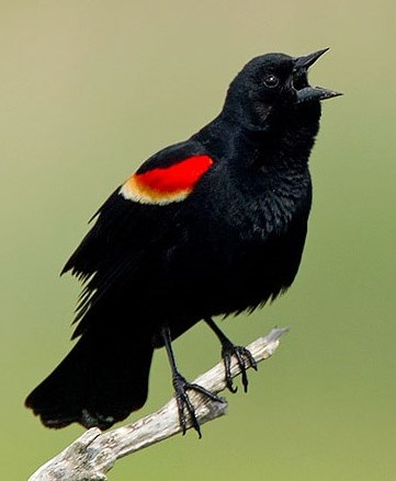 Red-Winged Blackbird © Lloyd Spitalnik