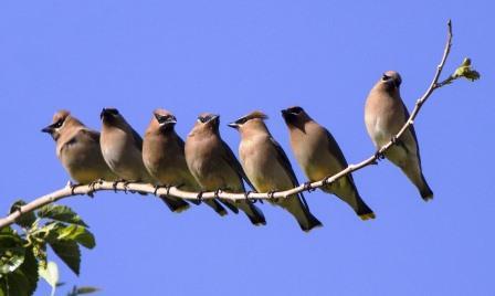 Cedar Waxwings © Dzung Tran (Creative Commons Attribution License)