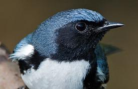 Black-Throated Blue Warbler © Lloyd Spitalnik