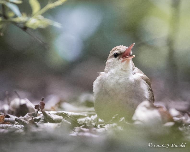 Swainson's Warbler © Laura J. Mandel