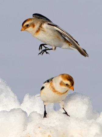 Snow Buntings © Lloyd Spitalnik