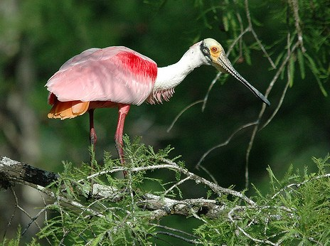 Roseate Spoonbill © Michael McCarthy (Flickr Creative Commons Attribution License)