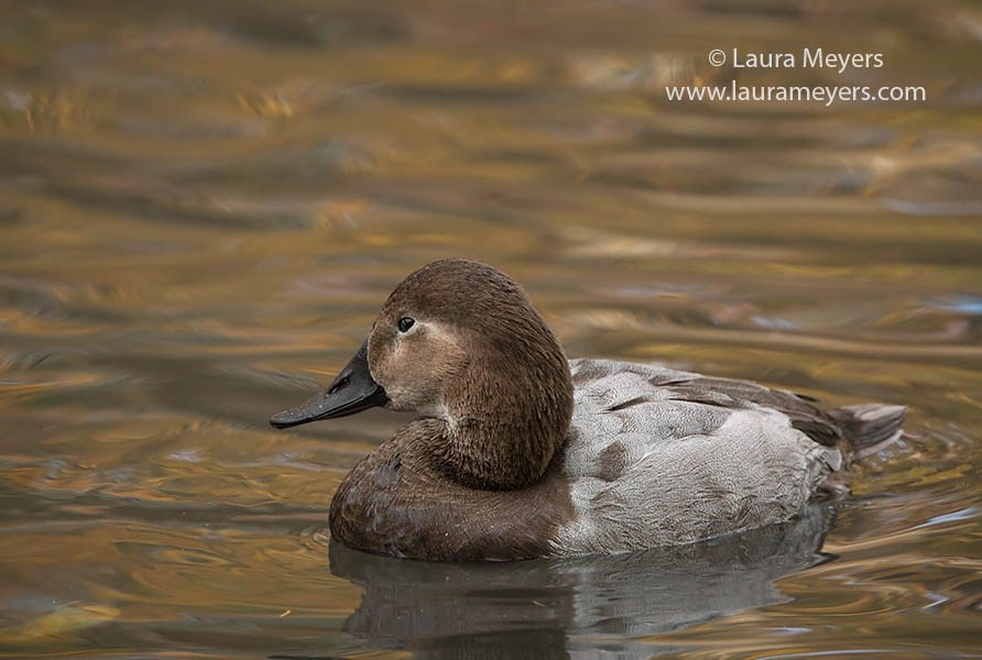 Canvasback Female © Laura Meyers
