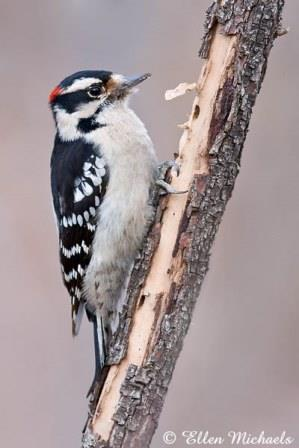 Downy Woodpecker © Ellen Michaels