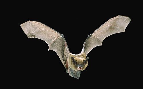 Big Brown Bat © Angell Williams (Creative Commons Attribution License)