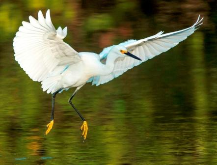 Snowy Egret © Keith Carver (Creative Commons Attribution License)