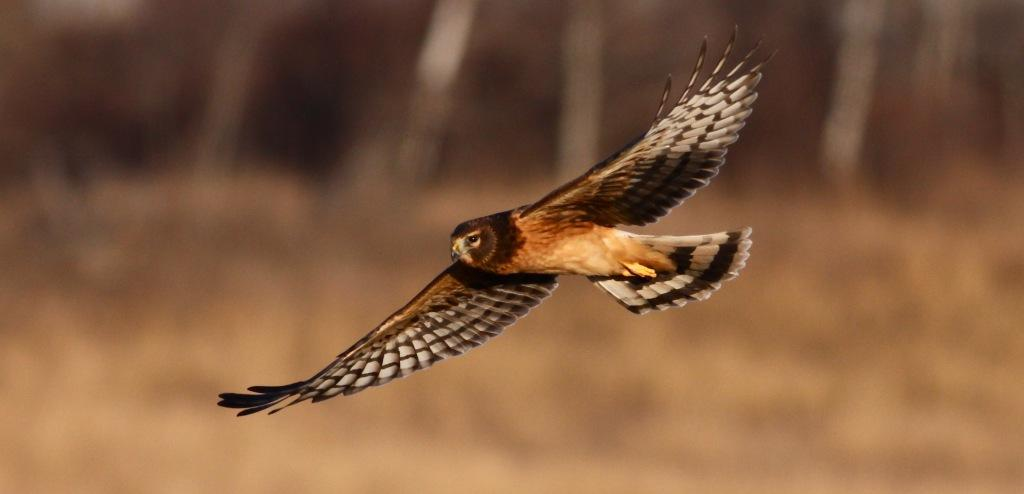 Northern Harrier © dfaulder (Creative Commons Attribution License)