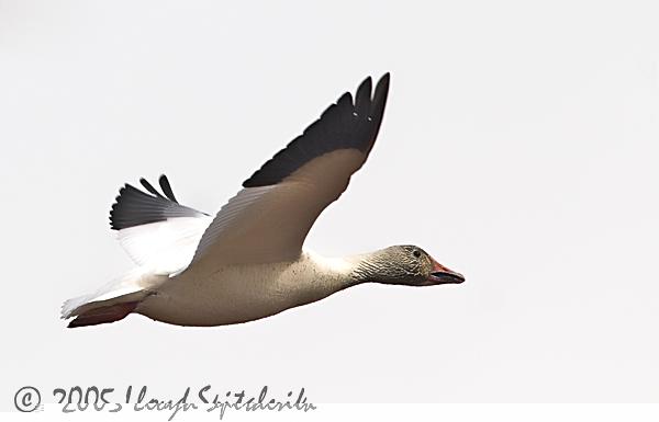 Snow Goose © Lloyd Spitalnik