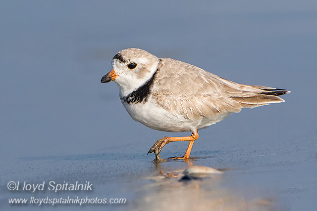 Piping Plover © Lloyd Spitalnik