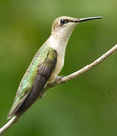 Ruby-Throated Hummingbird © Laura Meyers