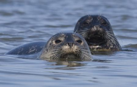 Harbor Seals © Mike Baird (Creative Commons Attribution License)