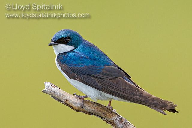 Tree Swallow © Lloyd Spitalnik