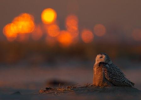 Snowy Owl at Jamaica Bay © François Portmann