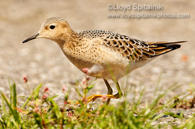 Buff-Breasted Sandpiper © Lloyd Spitalnik