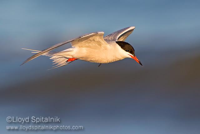 Common Tern © Lloyd Spitalnik