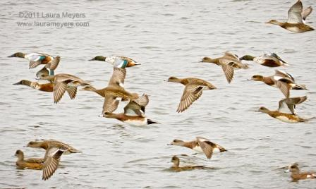 Northern Shovelers and American Wigeon at Jamaica Bay NWR © Laura Meyers