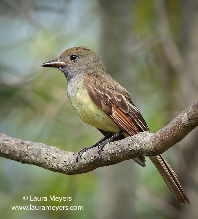 Great-Crested Flycatcher © Laura Meyers