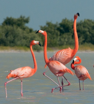 American Flamingos © Sergey Yeliseev (Flickr Creative Commons License)