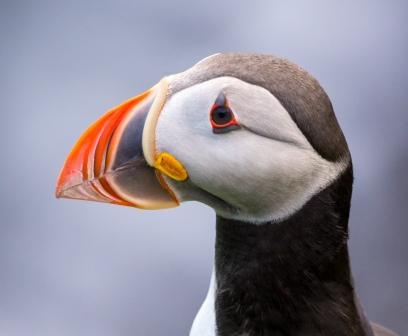 Atlantic Puffin © Harald Deischinger (Creative Commons Attribution License)