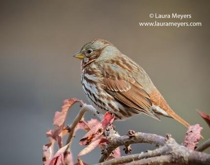 Fox Sparrow © Laura Meyers