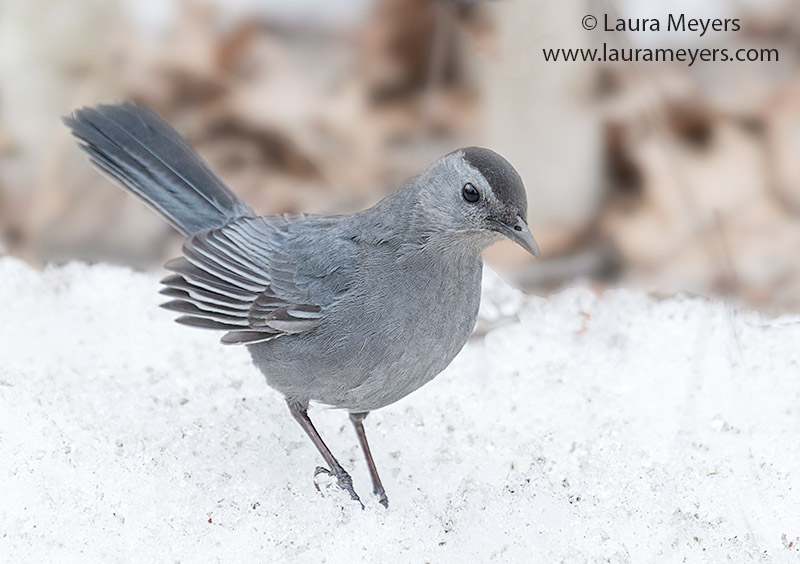 Gray Catbird © Laura Meyers
