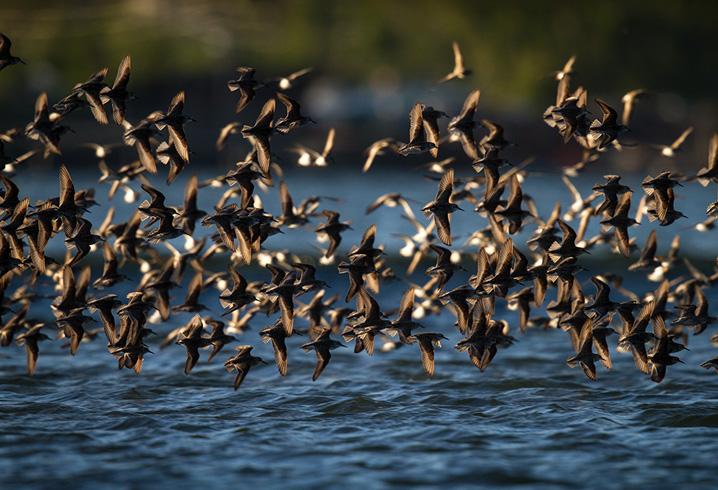 Shorebirds in Flight © Francois Portmann